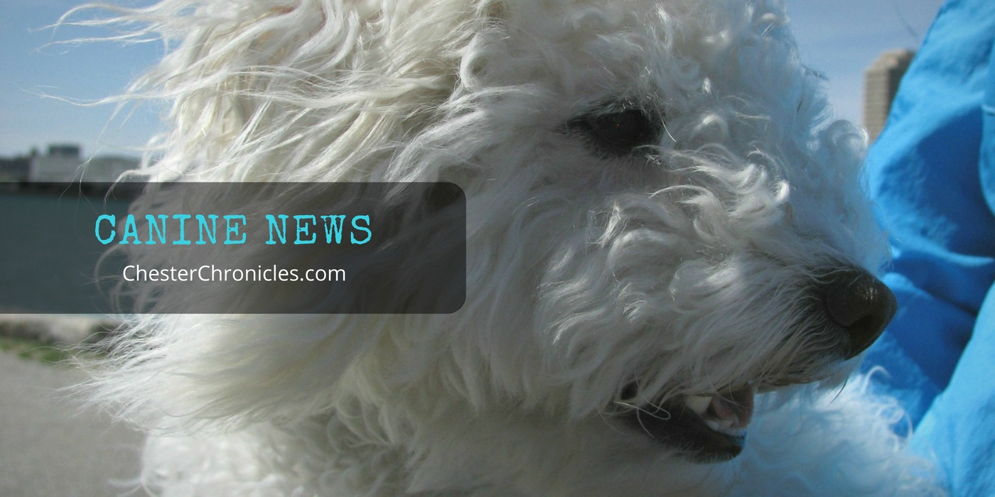 ChesterChronicles.com - Canine News